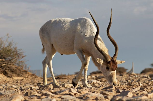A_big_male_Addax_showing_as_the_power_of_his_horns