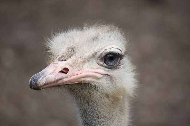 800px-Ostrich2010_2